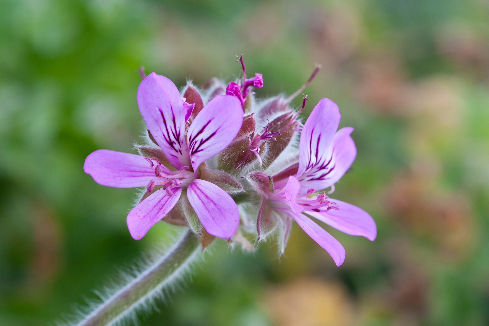 Pelargonium_capitatum,_two_blooms_detail